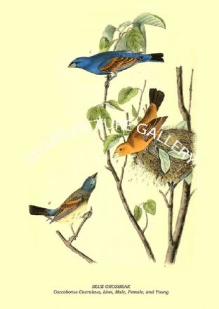 BLUE GROSBEAK - Coccoborus Caeruleus, Linn, Male, Female, and Young